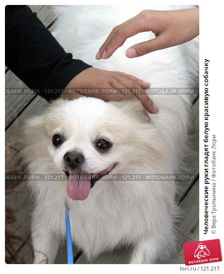 Человеческие руки гладят белую красивую собачку, фото № 121217, снято 24 апреля 2017 г. (c) Вера Тропынина / Фотобанк Лори