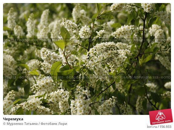 Черемуха, фото № 156933, снято 11 мая 2007 г. (c) Мурзенко Татьяна / Фотобанк Лори