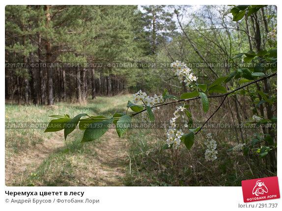 Черемуха цветет в лесу, фото № 291737, снято 17 мая 2008 г. (c) Андрей Брусов / Фотобанк Лори