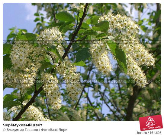 Черёмуховый цвет, фото № 161693, снято 22 мая 2007 г. (c) Владимир Тарасов / Фотобанк Лори