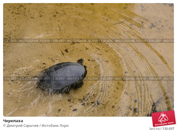 Черепаха, фото № 130697, снято 24 июня 2007 г. (c) Дмитрий Сарычев / Фотобанк Лори