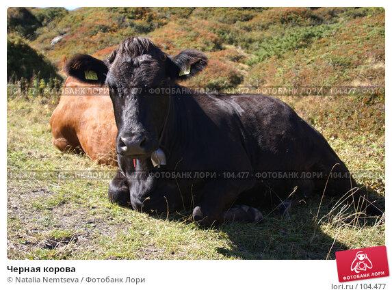 Черная корова, эксклюзивное фото № 104477, снято 25 марта 2017 г. (c) Natalia Nemtseva / Фотобанк Лори