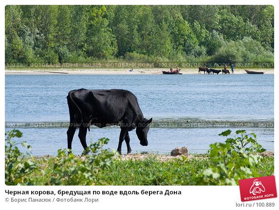 Купить «Черная корова, бредущая по воде вдоль берега Дона», фото № 100889, снято 25 июля 2007 г. (c) Борис Панасюк / Фотобанк Лори
