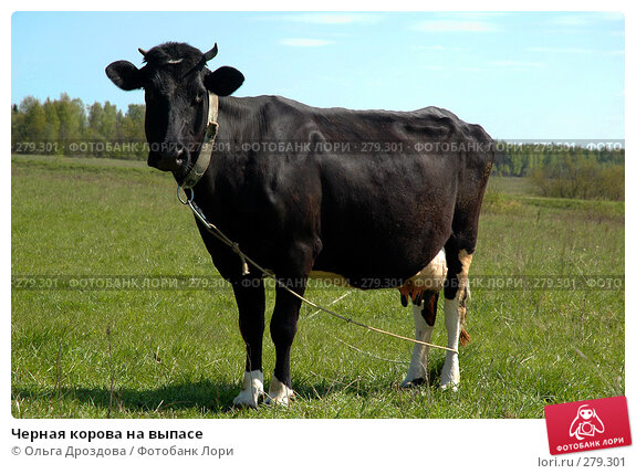 Черная корова на выпасе, фото № 279301, снято 14 января 2005 г. (c) Ольга Дроздова / Фотобанк Лори