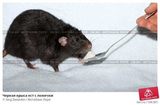 Черная крыса ест с ложечки, фото № 134561, снято 11 октября 2006 г. (c) Serg Zastavkin / Фотобанк Лори