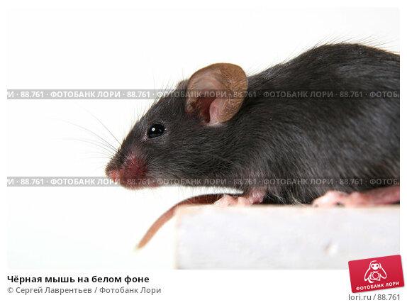Чёрная мышь на белом фоне, фото № 88761, снято 23 сентября 2007 г. (c) Сергей Лаврентьев / Фотобанк Лори