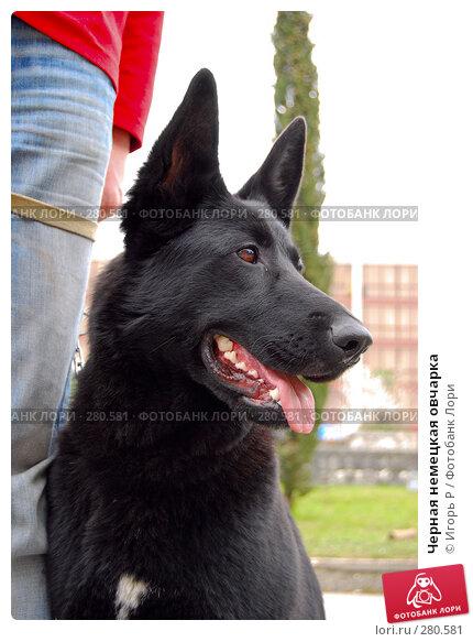 Черная немецкая овчарка, фото № 280581, снято 23 марта 2008 г. (c) Игорь Р / Фотобанк Лори