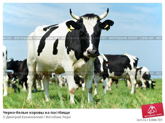 Купить «Черно-белые коровы на пастбище», фото № 3844101, снято 16 августа 2011 г. (c) Дмитрий Калиновский / Фотобанк Лори