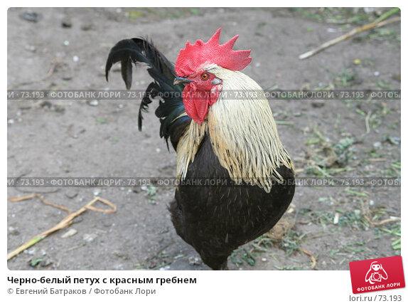 Черно-белый петух с красным гребнем, фото № 73193, снято 21 июля 2007 г. (c) Евгений Батраков / Фотобанк Лори