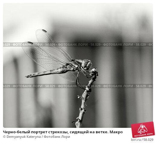 Купить «Черно-белый портрет стрекозы, сидящей на ветке. Макро», фото № 58029, снято 3 июля 2007 г. (c) Demyanyuk Kateryna / Фотобанк Лори