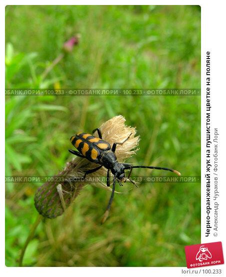 Купить «Черно-оранжевый жук на пушистом цветке на поляне», фото № 100233, снято 14 августа 2005 г. (c) Александр Чураков / Фотобанк Лори