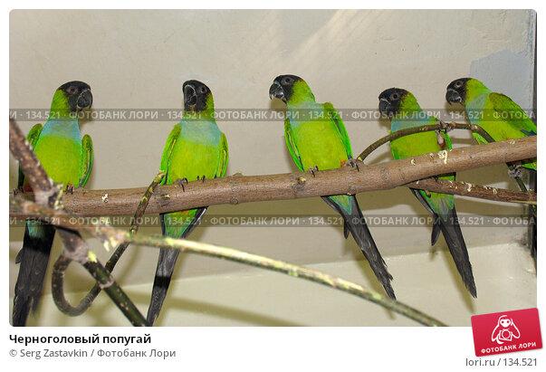 Черноголовый попугай, фото № 134521, снято 10 октября 2004 г. (c) Serg Zastavkin / Фотобанк Лори