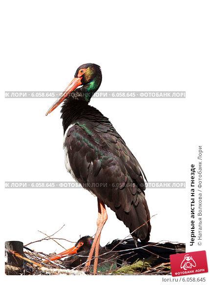 Купить «Черные аисты на гнезде», фото № 6058645, снято 5 апреля 2014 г. (c) Наталья Волкова / Фотобанк Лори
