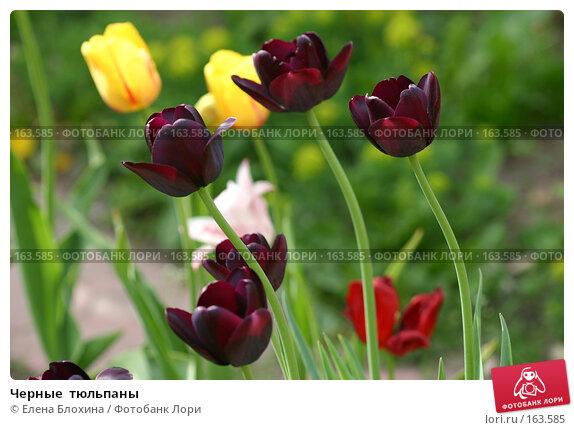 Черные  тюльпаны, фото № 163585, снято 19 мая 2007 г. (c) Елена Блохина / Фотобанк Лори