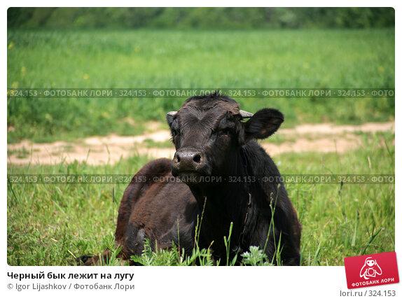Черный бык лежит на лугу, фото № 324153, снято 14 июня 2008 г. (c) Igor Lijashkov / Фотобанк Лори
