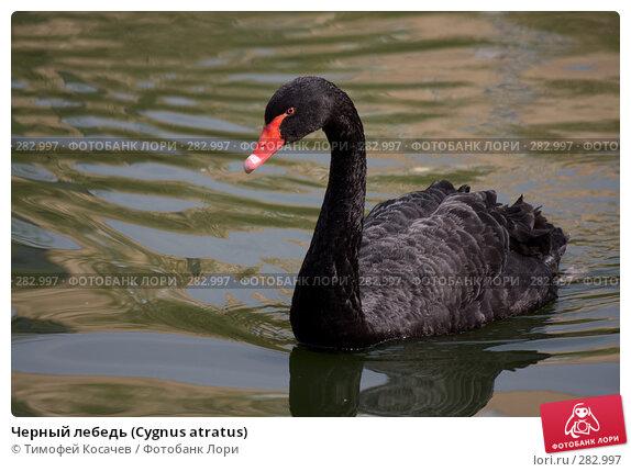Черный лебедь (Cygnus atratus), фото № 282997, снято 12 апреля 2008 г. (c) Тимофей Косачев / Фотобанк Лори