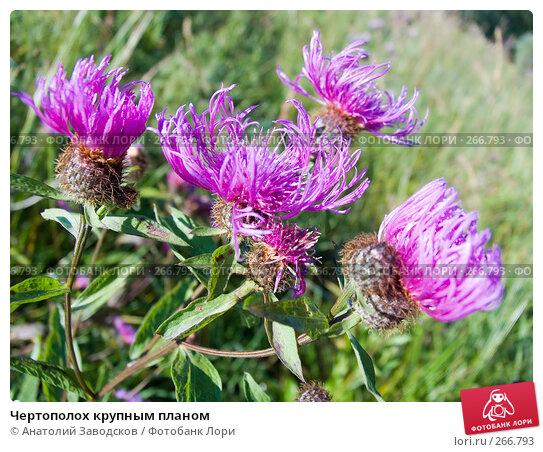 Чертополох крупным планом, фото № 266793, снято 1 августа 2006 г. (c) Анатолий Заводсков / Фотобанк Лори