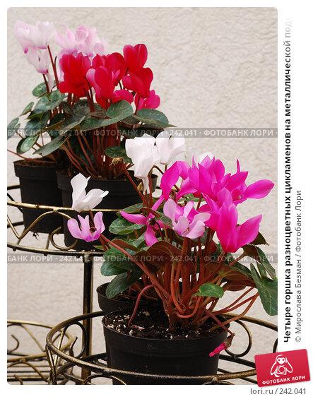 Купить «Четыре горшка разноцветных цикламенов на металлической подставке», фото № 242041, снято 16 марта 2008 г. (c) Мирослава Безман / Фотобанк Лори