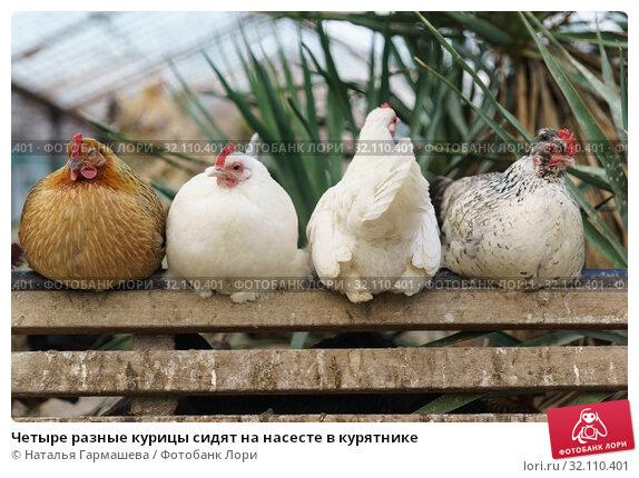 Купить «Четыре разные курицы сидят на насесте в курятнике», фото № 32110401, снято 10 марта 2019 г. (c) Наталья Гармашева / Фотобанк Лори