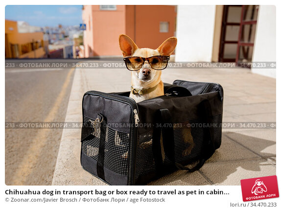 Chihuahua dog in transport bag or box ready to travel as pet in cabin... Стоковое фото, фотограф Zoonar.com/Javier Brosch / age Fotostock / Фотобанк Лори