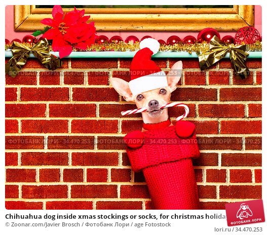 Chihuahua dog inside xmas stockings or socks, for christmas holidays... Стоковое фото, фотограф Zoonar.com/Javier Brosch / age Fotostock / Фотобанк Лори