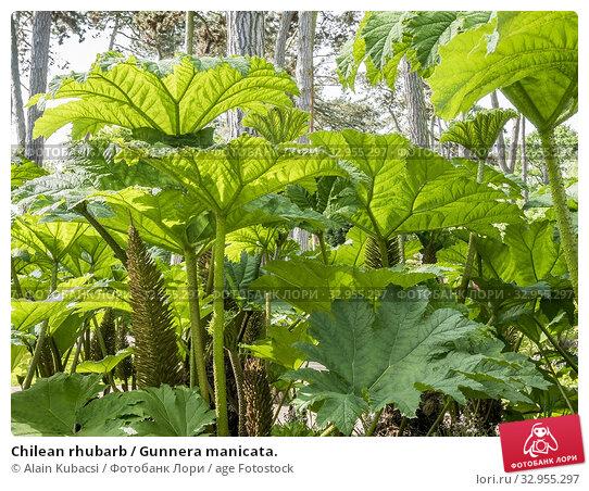 Chilean rhubarb / Gunnera manicata. Стоковое фото, фотограф Alain Kubacsi / age Fotostock / Фотобанк Лори
