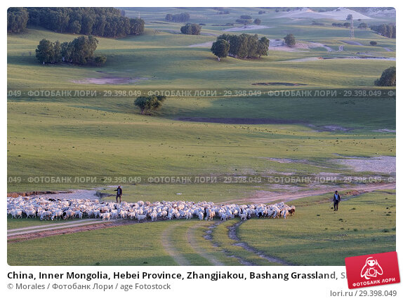 Купить «China, Inner Mongolia, Hebei Province, Zhangjiakou, Bashang Grassland, Shepherd keeping his sheep with his dogs.», фото № 29398049, снято 1 июля 2018 г. (c) age Fotostock / Фотобанк Лори