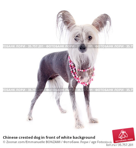Chinese crested dog in front of white background. Стоковое фото, фотограф Zoonar.com/Emmanuelle BONZAMI / age Fotostock / Фотобанк Лори