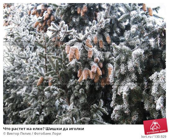 Купить «Что растет на елке? Шишки да иголки», фото № 130929, снято 21 ноября 2007 г. (c) Виктор Пелих / Фотобанк Лори
