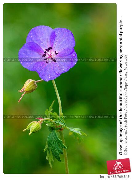 Close-up image of the beautiful summer flowering perennial purple... Стоковое фото, фотограф Zoonar.com/Artush Foto / easy Fotostock / Фотобанк Лори