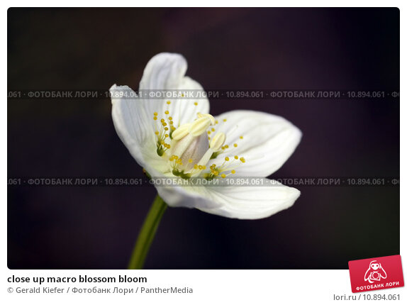 Купить «close up macro blossom bloom», фото № 10894061, снято 20 ноября 2018 г. (c) PantherMedia / Фотобанк Лори