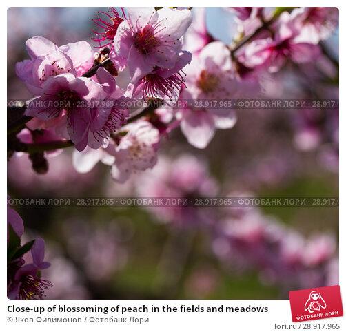 Купить «Close-up of blossoming of peach in the fields and meadows», фото № 28917965, снято 21 марта 2018 г. (c) Яков Филимонов / Фотобанк Лори