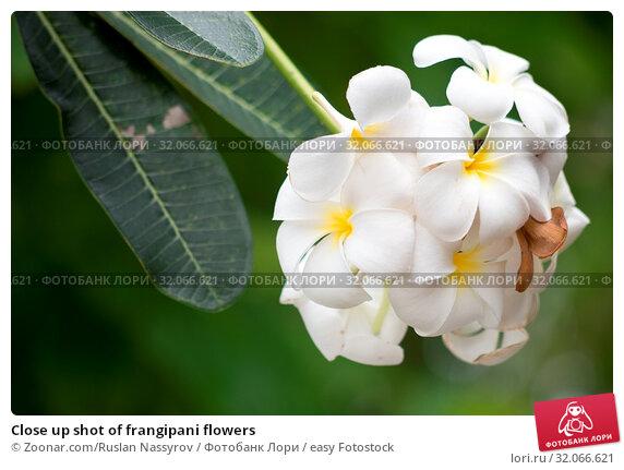 Close up shot of frangipani flowers. Стоковое фото, фотограф Zoonar.com/Ruslan Nassyrov / easy Fotostock / Фотобанк Лори