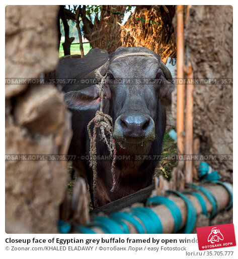 Closeup face of Egyptian grey buffalo framed by open window of clay... Стоковое фото, фотограф Zoonar.com/KHALED ELADAWY / easy Fotostock / Фотобанк Лори