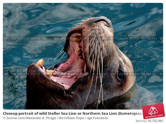 Closeup portrait of wild Steller Sea Lion or Northern Sea Lion (Eumetopias... Стоковое фото, фотограф Zoonar.com/Alexander A. Piragis / age Fotostock / Фотобанк Лори