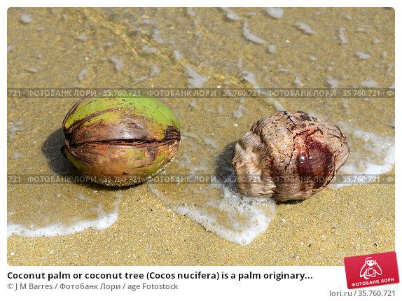 Coconut palm or coconut tree (Cocos nucifera) is a palm originary... Стоковое фото, фотограф J M Barres / age Fotostock / Фотобанк Лори