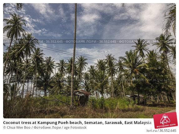 Coconut tress at Kampung Pueh beach, Sematan, Sarawak, East Malaysia. Стоковое фото, фотограф Chua Wee Boo / age Fotostock / Фотобанк Лори