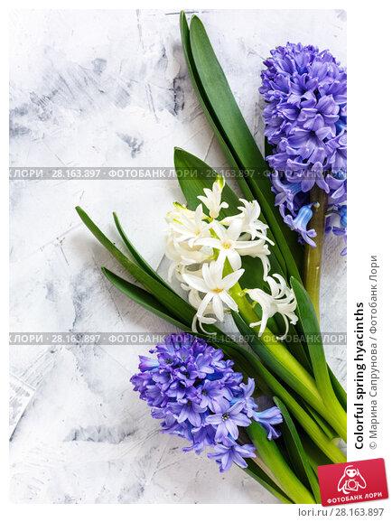 Купить «Colorful spring hyacinths», фото № 28163897, снято 12 марта 2018 г. (c) Марина Сапрунова / Фотобанк Лори