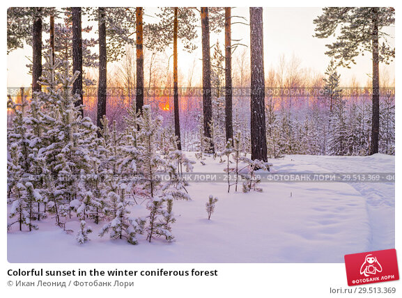 Купить «Colorful sunset in the winter coniferous forest», фото № 29513369, снято 3 декабря 2018 г. (c) Икан Леонид / Фотобанк Лори
