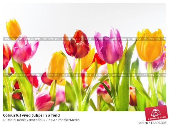 the symbolism of color in tulips