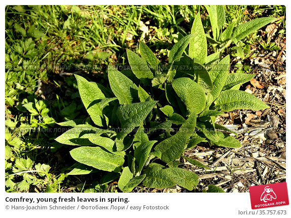Comfrey, young fresh leaves in spring. Стоковое фото, фотограф Hans-Joachim Schneider / easy Fotostock / Фотобанк Лори