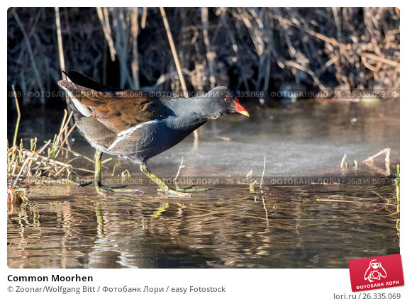 Common Moorhen, фото № 26335069, снято 29 мая 2017 г. (c) easy Fotostock / Фотобанк Лори