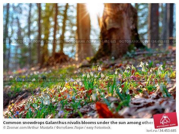 Common snowdrops Galanthus nivalis blooms under the sun among other... Стоковое фото, фотограф Zoonar.com/Arthur Mustafa / easy Fotostock / Фотобанк Лори