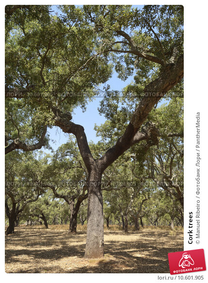 Cork trees. Стоковое фото, фотограф Manuel Ribeiro / PantherMedia / Фотобанк Лори