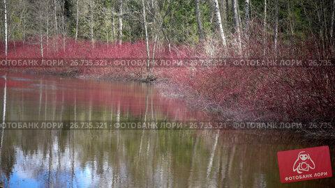 Cornus sanguinea, the common dogwood on the bank of a pond in the early spring, видеоролик № 26735321, снято 7 июня 2009 г. (c) Куликов Константин / Фотобанк Лори