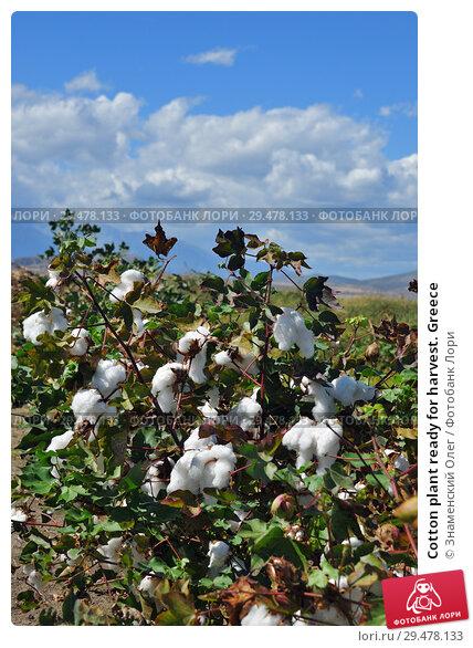 Купить «Cotton plant ready for harvest. Greece», фото № 29478133, снято 20 сентября 2016 г. (c) Знаменский Олег / Фотобанк Лори