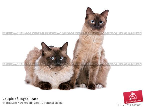 Купить «Couple of Ragdoll cats», фото № 12617681, снято 15 сентября 2019 г. (c) PantherMedia / Фотобанк Лори