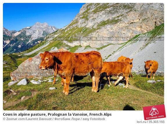 Cows in alpine pasture, Pralognan la Vanoise, French Alps. Стоковое фото, фотограф Zoonar.com/Laurent Davoust / easy Fotostock / Фотобанк Лори