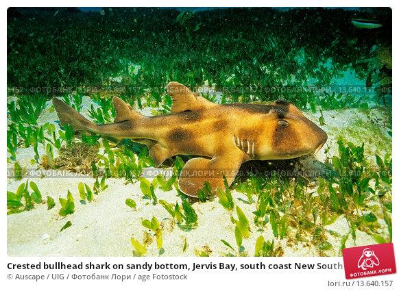 Купить «Crested bullhead shark on sandy bottom, Jervis Bay, south coast New South Wales, Australia», фото № 13640157, снято 22 апреля 2019 г. (c) age Fotostock / Фотобанк Лори