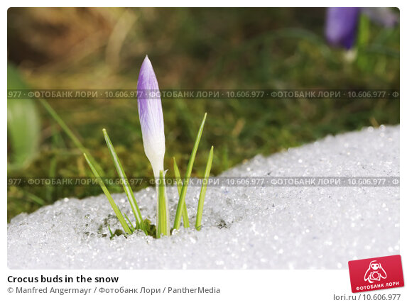 Crocus buds in the snow. Стоковое фото, фотограф Manfred Angermayr / PantherMedia / Фотобанк Лори